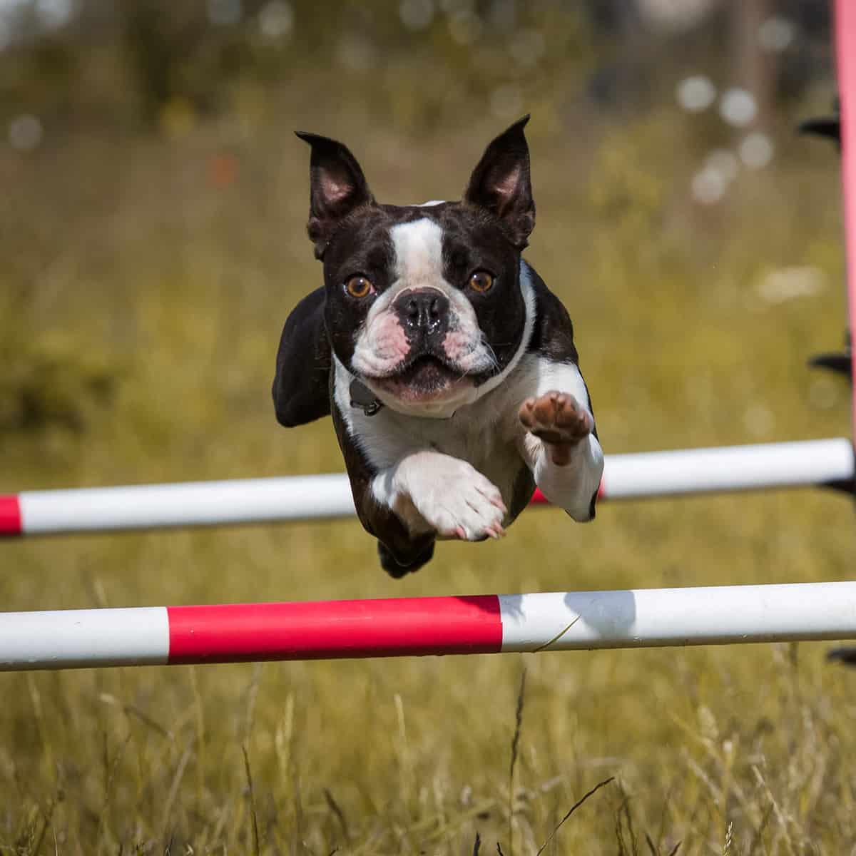 dog running vitality Harold Hill Harold Wood Gidea Park Hornchurch Romford Collier Row Rush Green Noak Hill