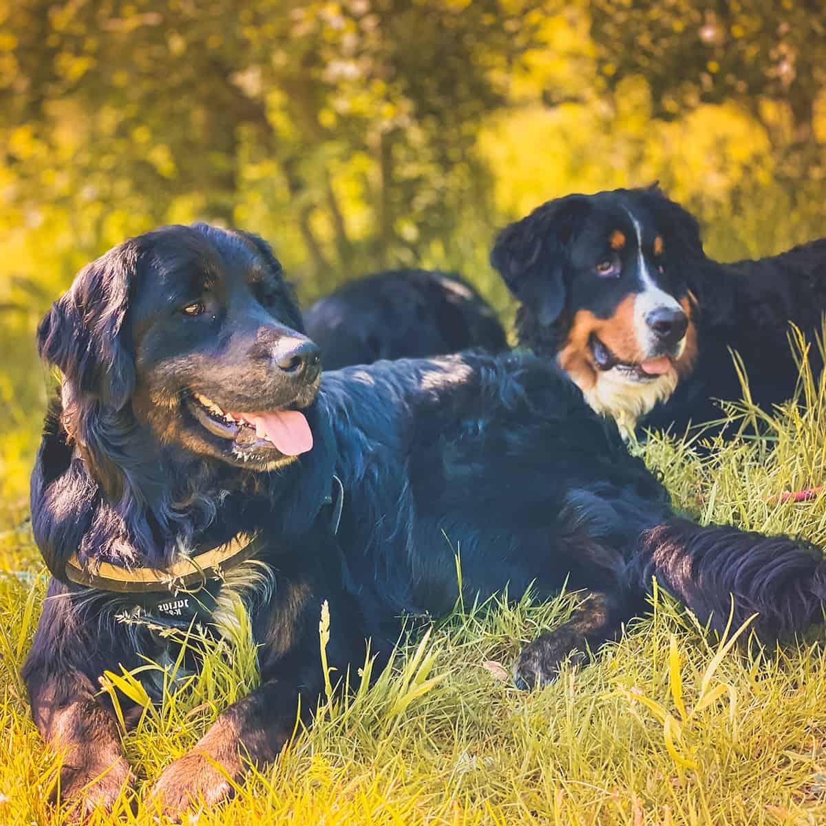 dog walker Harold Hill Harold Wood Gidea Park Hornchurch Romford Collier Row Rush Green Noak Hill